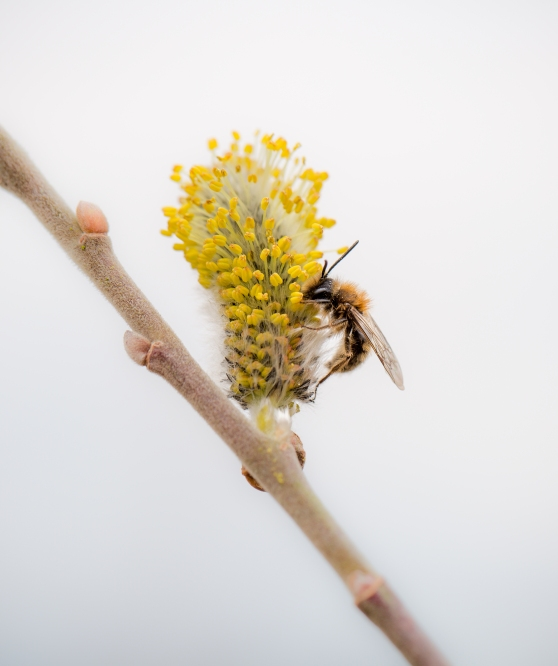 Early Mining Bee on Willow Catkin