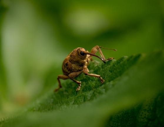 Curculio venosus - an acorn weevil