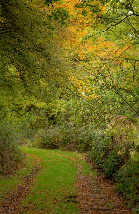 Gentle yellows and greens of oak woodland in Autumn