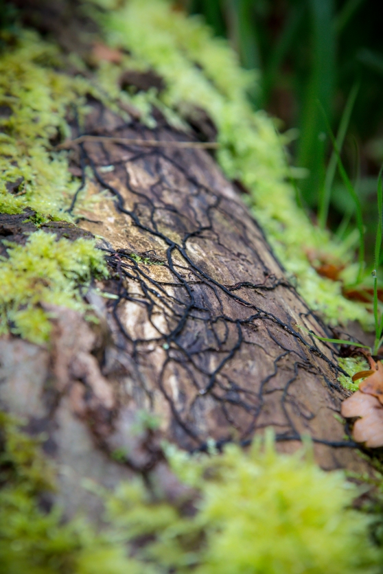 Fungal hyphae form a net on a fallen log.