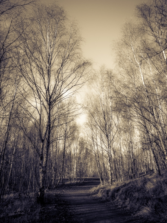 Birch woodland path in winter