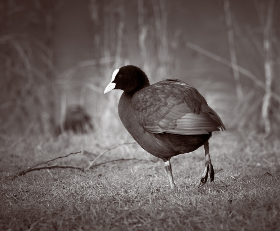 Coot at the local ponds - OMD EM-1 with 40-150 f2.8 Pro
