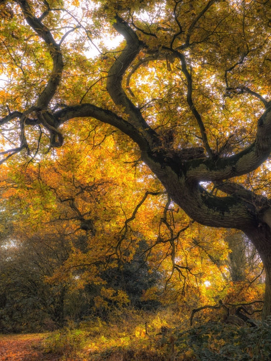 Beautiful twisted tree in autumn colour