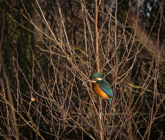 Kingfisher in birch tree