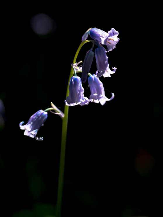 Against a dark background, the bluebell stands bright
