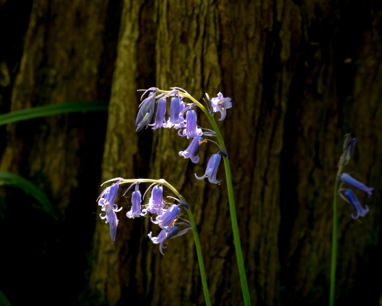 Bluebells against a tree trunk