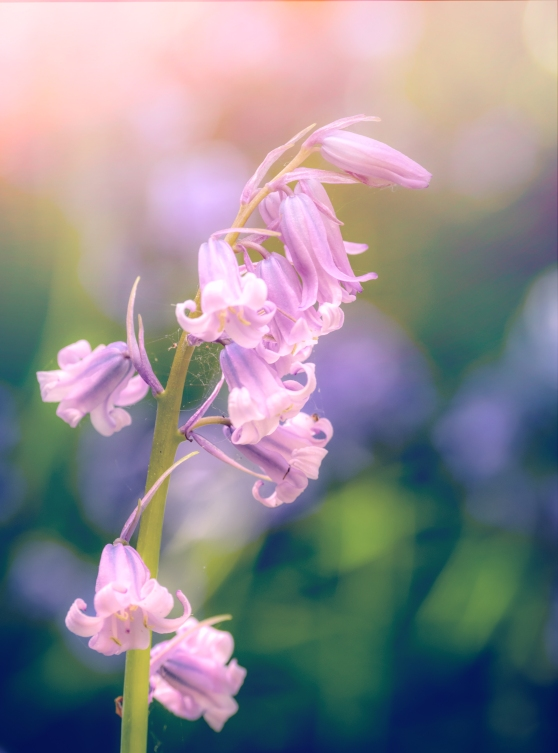 A rare Pink English bluebell
