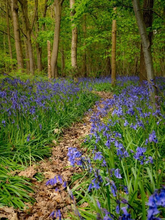 Bluebell path under the trees