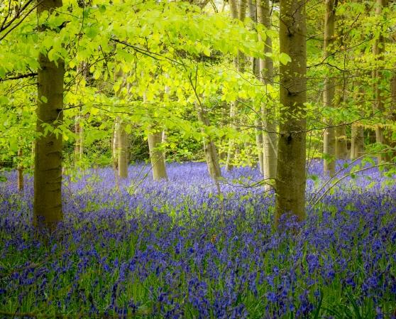 Bluebells under trees on woodland floor