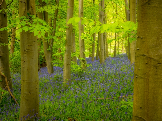Bluebells under trees on woodland floor