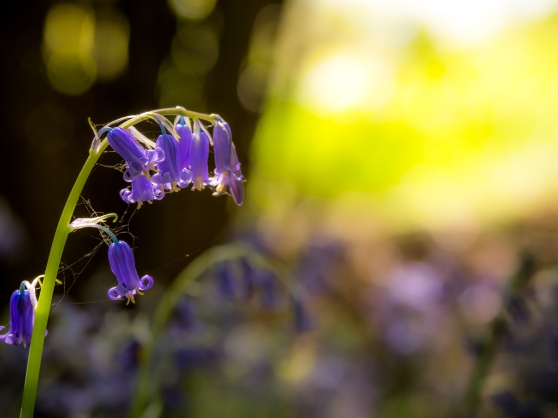 Bluebell on the forest floor