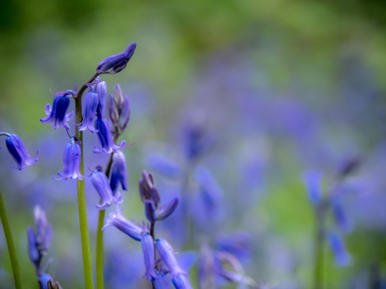 Bluebells on a dull day